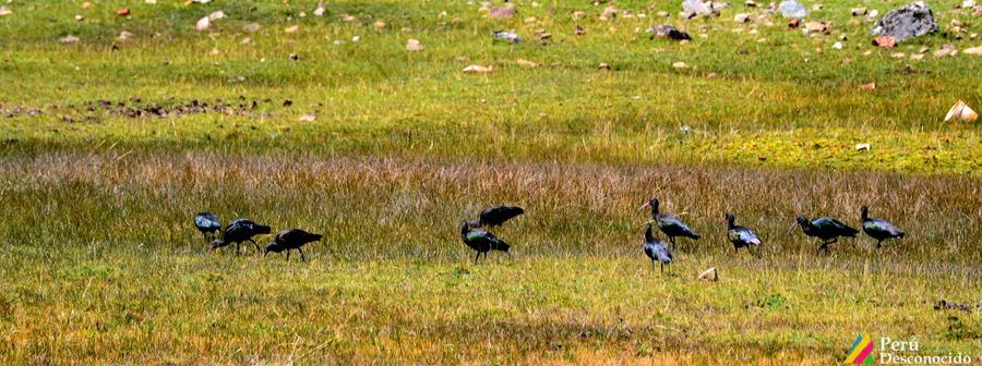 Aves silvestres en Jancapampa
