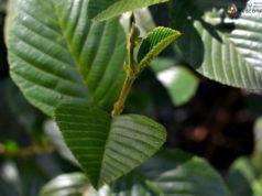 Plantas medicinales-aliso